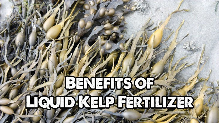 Kelp Fertilizer Benefits