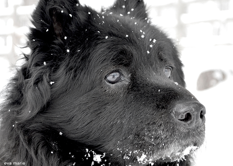 china-snow-pup-copy