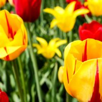 How to See Tulips and a Dutch Windmill During Tulip Time in Holland, Michigan
