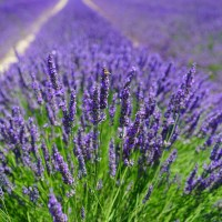 7 Beautiful Lavender Fields You Must See In Michigan