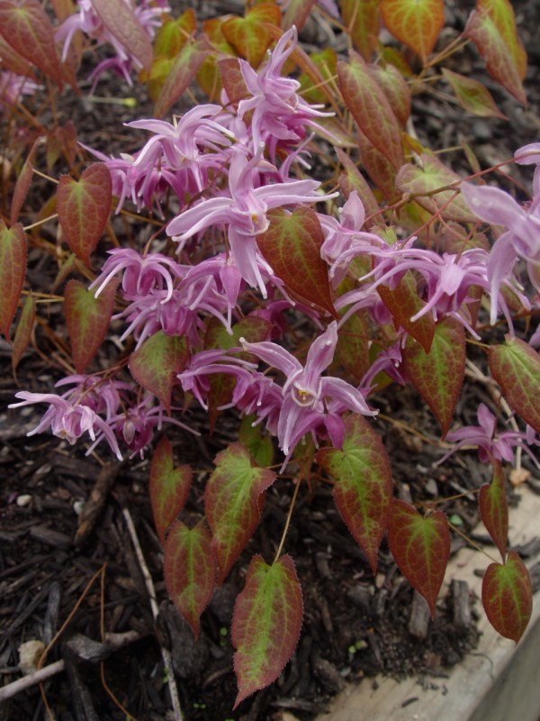 Epimedium sempervirens 'Violet' Queen for sale.