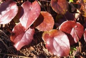 E. macrosepalum 'Sweet Rachel' fol web