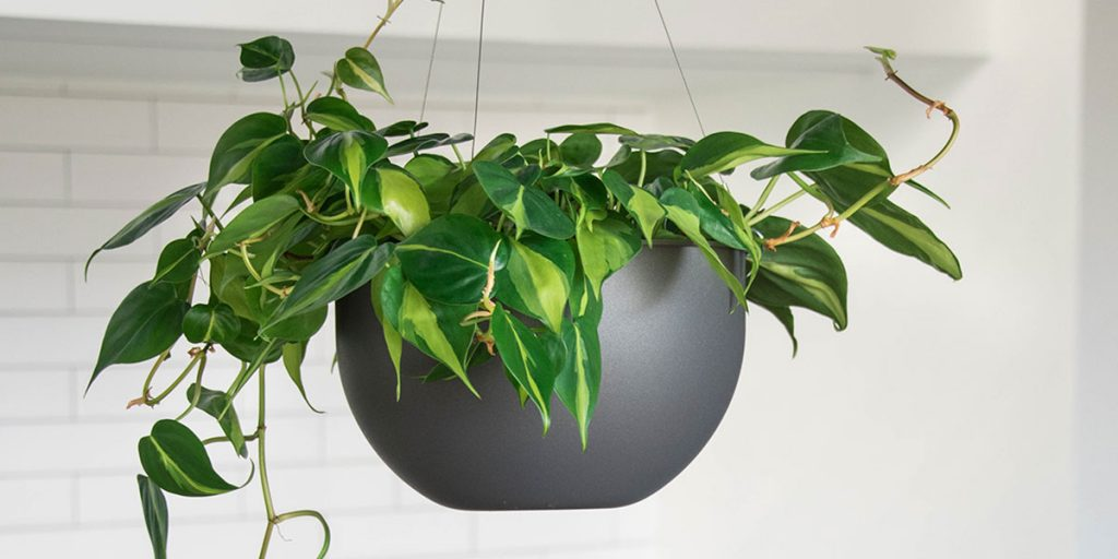15 Trailing Plants Perfect For Large Indoor Hanging Planters Eplanters