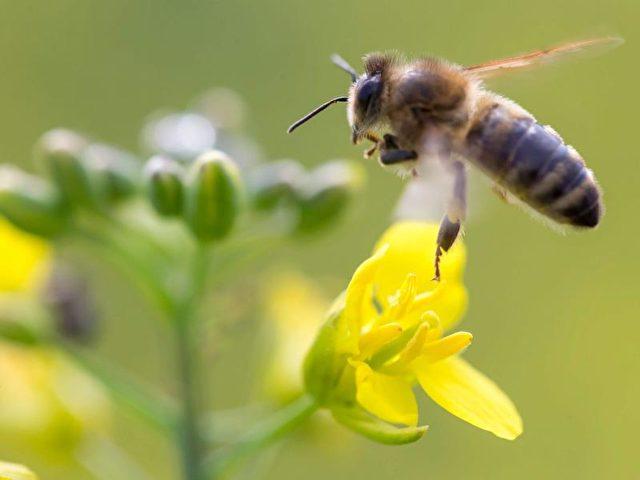 Bienen sind als Bestäuber wichtig für die Ökosysteme. Foto: Michael Reichel/dpa
