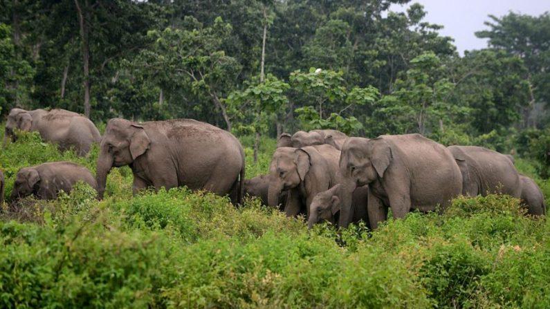 Des éléphants en deuil marchent en «procession funéraire» en transportant le corps d'un éléphanteau mort