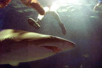 Территориальные воды Австралии занимают первое место в мире по популяции акул-людоедов. Фото: TORSTEN BLACKWOOD/AFP/Getty Images
