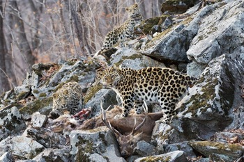 Амурский леопард. Молодая семья во время совместной еды в каменоломне. Фото с сайта epochtimes.de