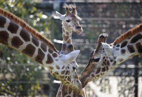 Жираф. Фото: EMMANUEL DUNAND/AFP/Getty Images