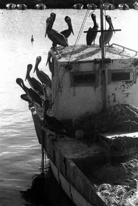 Пеликаны в мексиканском городе Лорето на полуострове Баджа. Фото: Mark Chester