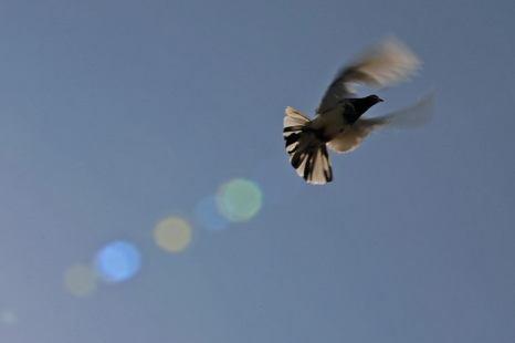 Голубь, вылетающий из клетки в Лахоре. 24 октября 2010 г. Фото: Карл де Суза/AFP/Getty Images