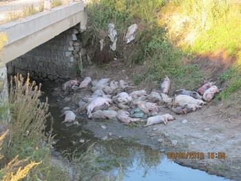 Выброшенные под мост умершие от свиной чумы. Уезд Цзюсянь провинция Хэйлунцзян. Фото предоставили местные крестьяне