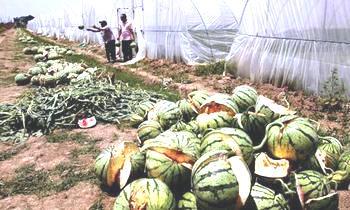 Взрывоопасные арбузы вырастили фермеры Китая. Фото с mixednews.ru