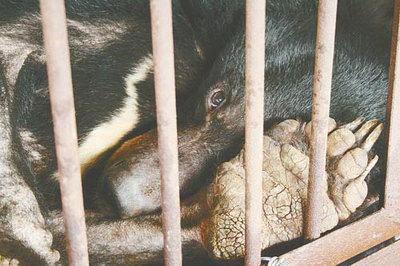 Этих  медведей держат в клетках, где они не могут ни стоять, ни развернуться, ни размяться, даже солнце не проникает  сюда. Когда у них берут желчь, они могут только громко реветь и качать головой от невыносимой боли. Фото: 360doc.com