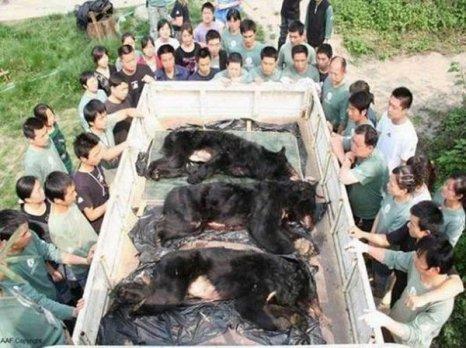 Но из-за перенесенных  неимоверно тяжелых страданий  многим медведям после их спасения вынуждены сделать эвтаназию.  Фото: 360doc.com