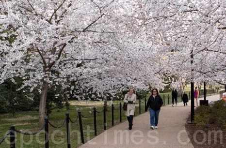 На празднике цветения вишни в США. Город Вашингтон. Март 2011 год. Фото: The Epoch Times