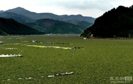 Река Миньцзянь настолько густо заросла водорослями, что напоминает поле. Провинция Фуцзянь. 31 января 2012 год. Фото: Лю Тао