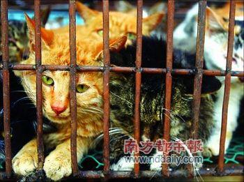 В Китае ежегодно поедают миллионы кошек. Фото: nddaily.com