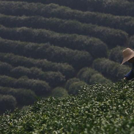 Крестьянин собирает чайные листья в первый день праздника чая лунцзин 22 марта 2007 г. в деревне Лону, которая известна производством высококачественного чая. Фото: China Photos/Getty Images