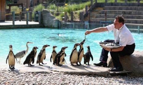 Кормление пингвинов в лондонском зоопарке 17 июля 2013 года. Фото: Oli Scarff/Getty Images