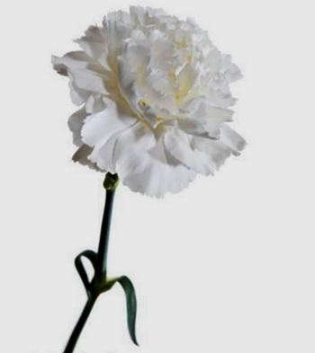 Дарите женщинам цветы со смыслом. Белая гвоздика. Фото с сайта ba-bamail