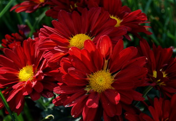 Дарите женщинам цветы со смыслом. Хризантема. Фото: Хава ТОР/Великая Эпоха