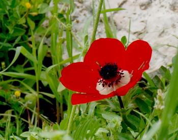 Дарите женщинам цветы со смыслом. Мак. Фото: Хава ТОР/Великая Эпоха