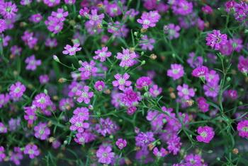 Дарите женщинам цветы со смыслом. Гипсофила. Фото с сайта botanichka.ru