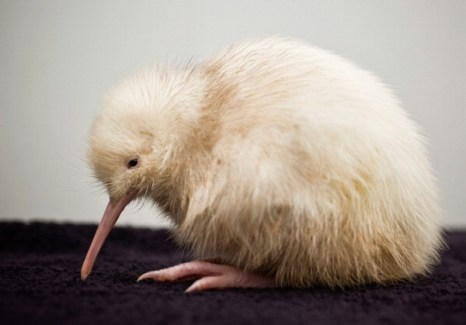 Фоторепортаж о птенце киви редкого вида. Фото: Mike Heydon/Jet Productions NZ Limited via Getty Images