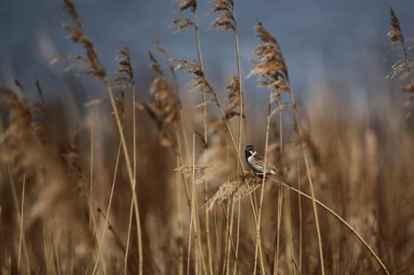 Тростниковая овсянка на болоте Элмлей. Фото: Dan Kitwood / Getty Images