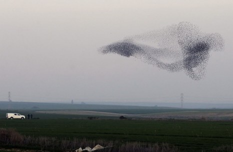 «Полёт лебедя»: Стая скворцов принимает форму летящего лебедя в небе израильского города Нетивот. Фото: David Buimovitch/AFP/Getty Images