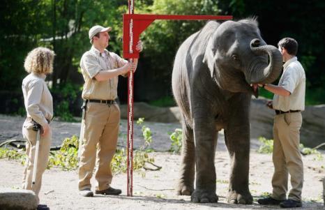 Слоны на инвентаризации в зоопарке Хагенберг. Фото: Joern Pollex/Getty Images