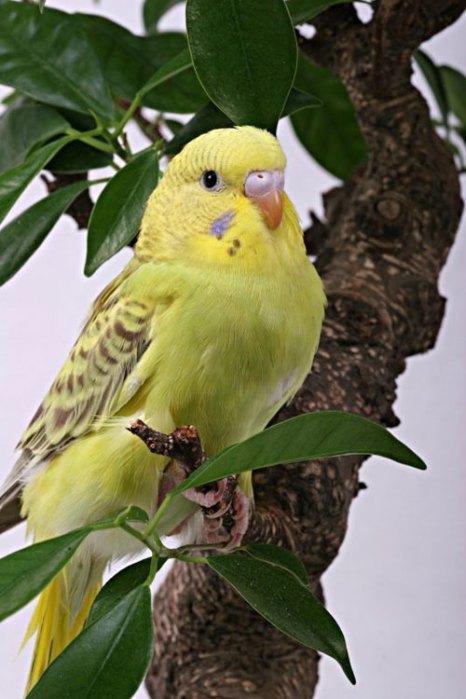 Волнистый попугайчик. Особи отличаются шумом и болтливостью, довольно легко запоминают слова и выражения, которые повторяют много раз при