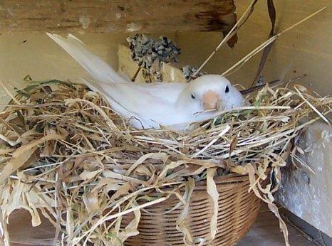 Самка-канарейка высиживает птенцов. Фото: Fir0002/commons.wikimedia.org
