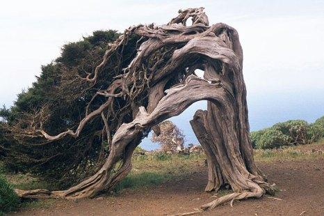 Витые кустарники на острове Иерро. Фото: Eckhard Pecher/commons.wikimedia.org