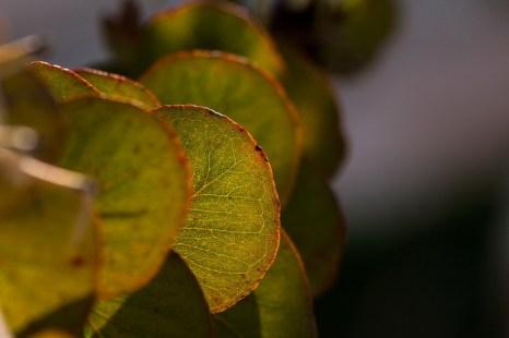 Эвкалипт. Фото: Хава Тор/Великая Эпоха (The Epoch Times)