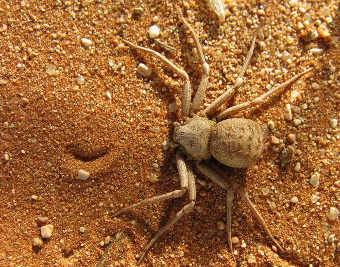 Самка шестиглазого песочного паука на побережье Намибии. Фото: Jon Richfield/Wikimedia Commons