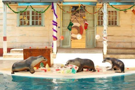 Морские котики зоопарка Таронга 19 декабря получили особое угощение в рамках новогодних праздников. Фото: Brendon Thorne/Getty Images