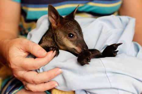 Кристель Гилмор приютила 21 октября 2013 года осиротевшего в лесных пожарах детёныша кингуру и дала ему имя «Феникс» в австралийском городе Карсли. Фото: Brendon Thorne/Getty Images