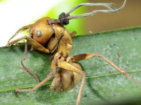 Гриб-паразит, проросший сквозь мёртвого муравья. Фото:HughesLab/David Hughes