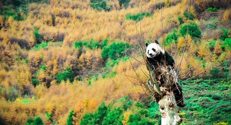 Совсем недавно исследователи обнаружили мощный антибиотик в крови гигантских панд и надеются, что это открытие позволит человечеству достойно ответить на возрастающие амбиции патогенного микромира. Фото: STR/AFP/Getty Images