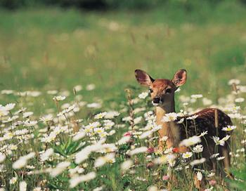 Вдруг она услышала стук копыт оленя за домом. Сю Нян увидела, что это был тот, спасенный ею желтый олень. Фото: Digital Vision/Getty Images