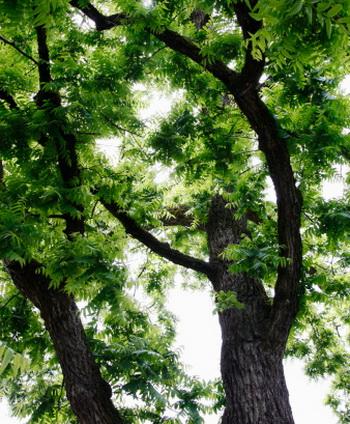 Черный орех или Juglans nigra произрастает в Северной Америке, где встречается в основном в горах Аппалачи и в долине Миссисипи. Фото: Joshua McCullough/Getty Images