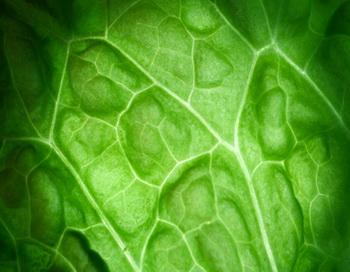 В России наиболее популярен салат латук. Фото: Daisuke Morita/Getty Images.