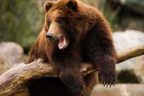 медведь. Фото: DENIS SINYAKOV/AFP/Getty Images