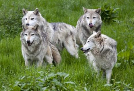 Волчья стая. Фото: Shutterstock*
