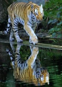 Сибирский тигр, гуляющий по берегу пруда. Фото: Joerg Koch/Getty image