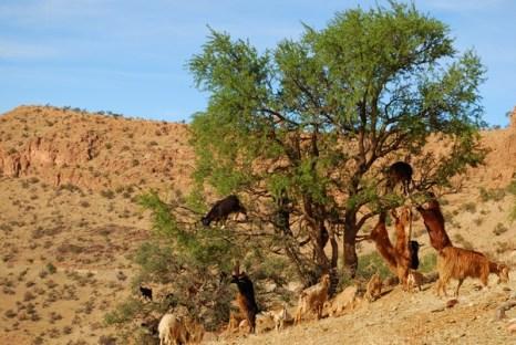Африка в Новый Год. Козы пасутся на деревьях. Фото: Таня Игауне