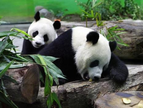 Гигантские панды (Tuan Tuan) и (Yuan Yuan). Фото:  GUO Ru-hsiao/AFP/Getty Images