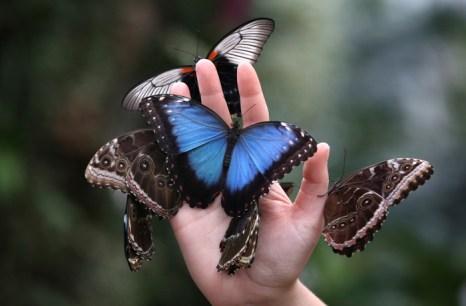 Редкие и экзотические бабочки в саду RHS Wisley в Англии. Фото: Peter Macdiarmid/Getty Images