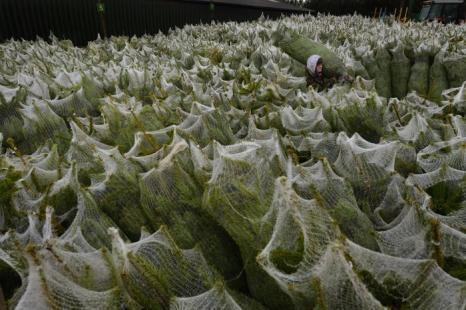 Новогодние ёлки готовят к продаже в Шотландии. Фоторепортаж. Фото: Jeff J Mitchell/Getty Images